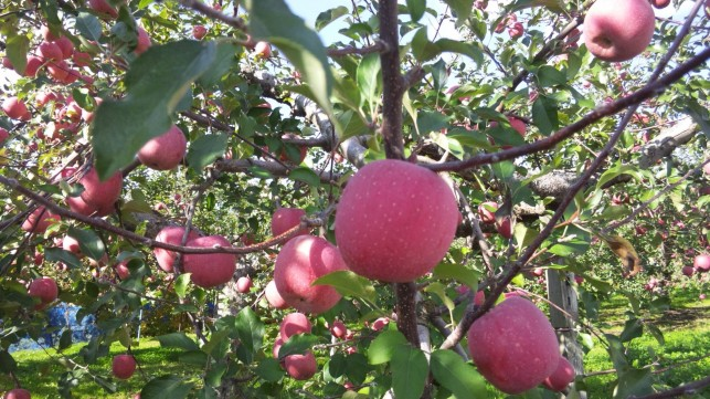 「りんご王国青森」を身近に感じて