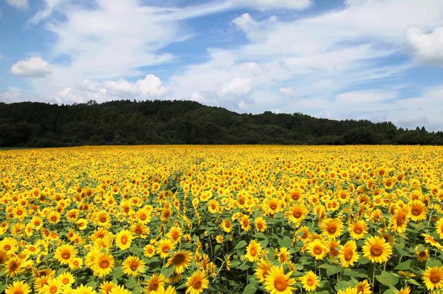 時を忘れる、ひまわり畑 – 山の楽校