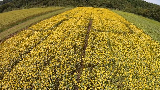 山の楽校2014~空から見たひまわり畑~
