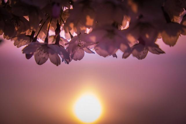 青森の桜 フォトコンテスト 準大賞「日の出」