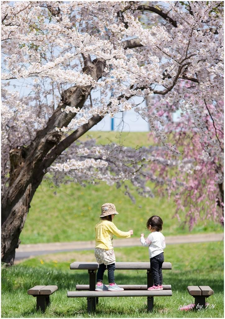 青森の桜 フォトコンテスト 編集室特別賞「じゃんけんポン」