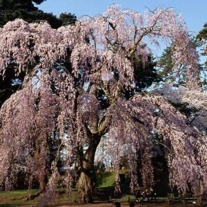 思い出の枝垂れ桜