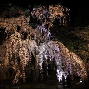 思い出の枝垂れ夜桜