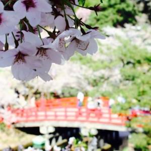 桜、鷹丘橋を眺める