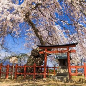 祠を彩る桜