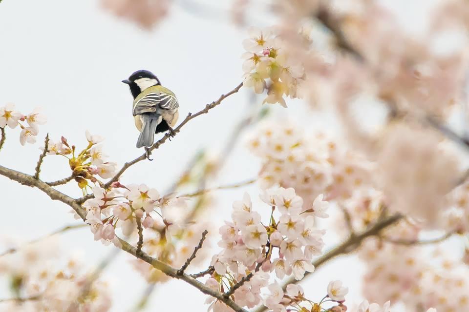 鳥も愛でる桜