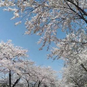 桜色トンネル