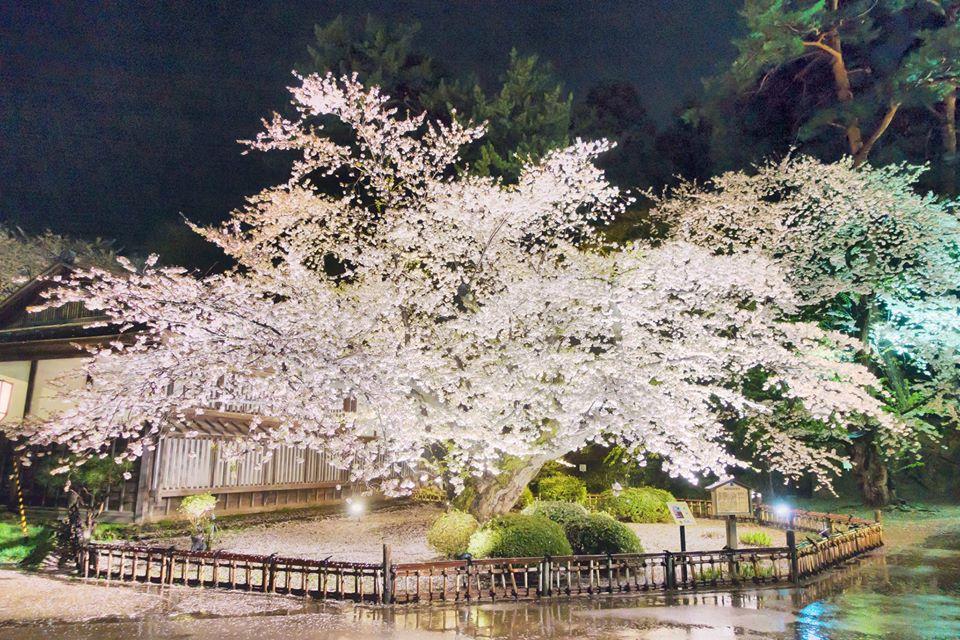 妖艶な桜の老木