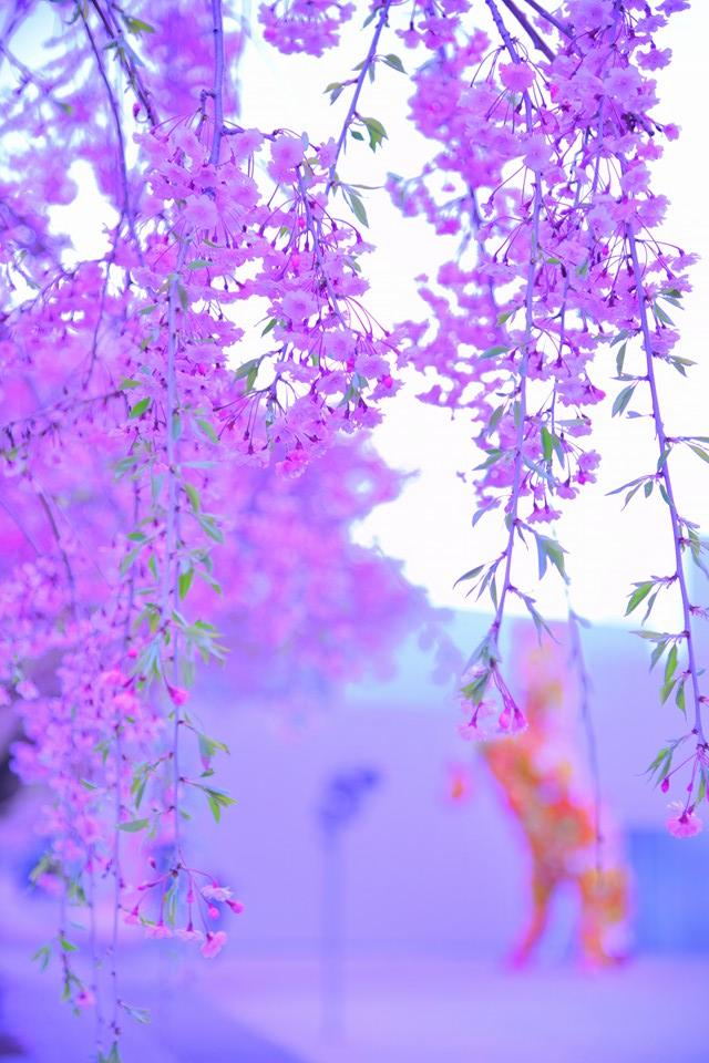 Artistic cherry blossoms
