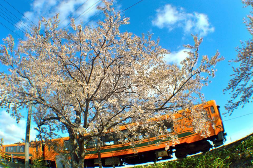 桜の中を走るメロス!