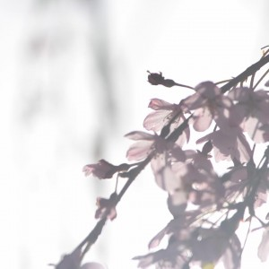 朝日にを浴びる桜