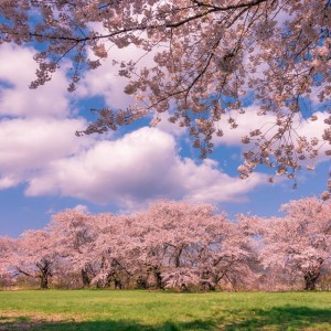 Cherry Blossom Heaven