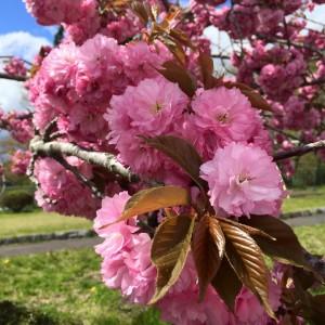 里桜 関山(かんざん)