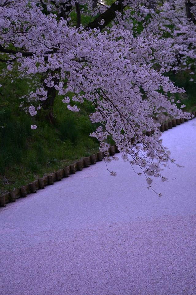 愛しい桜散ってなお