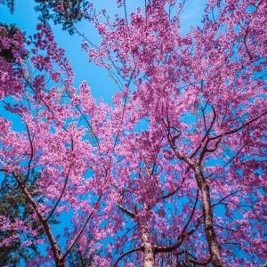 枝垂桜を見上げて