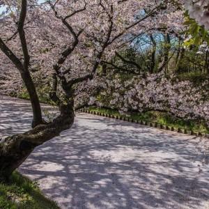 桜のキャンバス