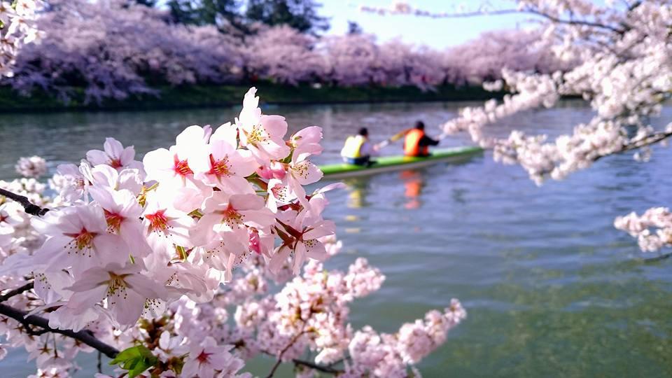 カヌーと桜