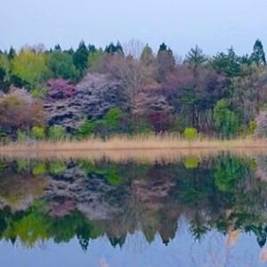 湖面に映る桜