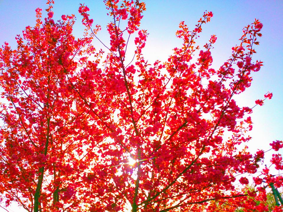 逆光の八重桜