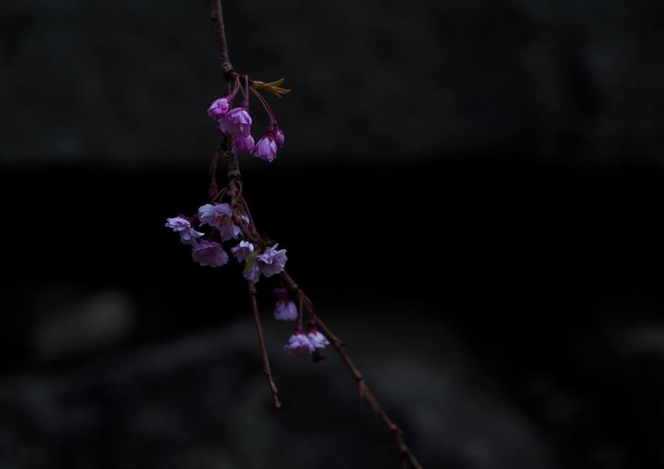 It blooms quietly.
