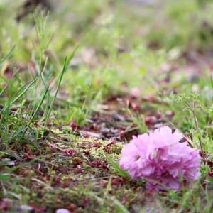 地上に落ちても桜満開