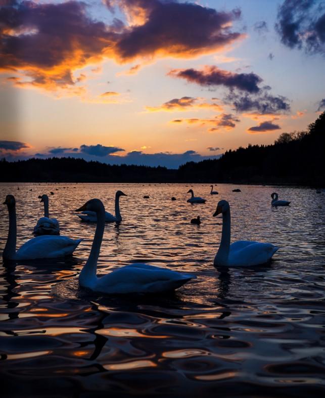 【冬期限定】ものすごい数の白鳥の飛来地&夕日スポット 八戸北丘陵下田公園(下田はくちょう公園)
