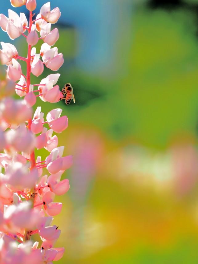 No.22佐伯 みつひで_蜜蜂とルピナス